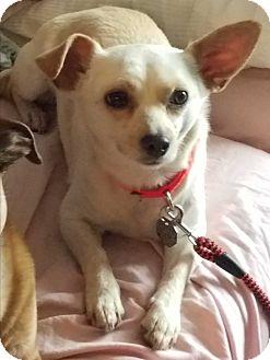 Chihuahua/Dachshund Mix Dog for adoption in Palatine, Illinois - Sadie (Mae)