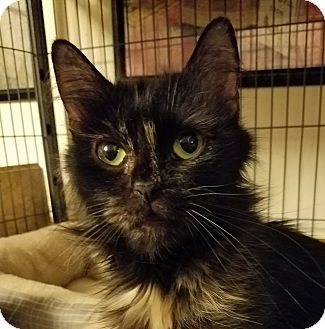 Domestic Longhair Cat for adoption in Jeannette, Pennsylvania - Patches