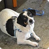 Adopt A Pet :: Panda - McKinney, TX