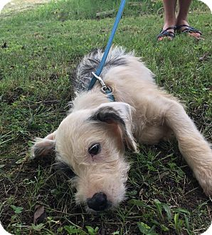 Jack Russell Terrier/Beagle Mix Puppy for adoption in Washington, D.C. - Ricky