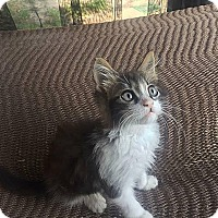 Adopt A Pet :: Albus Dumbledore - Tampa, FL