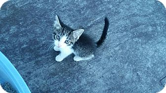 Domestic Shorthair Kitten for adoption in Mims, Florida - Baby June