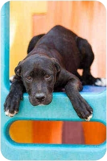 Labrador Retriever/Pit Bull Terrier Mix Puppy for adoption in Portland, Oregon - Chewy