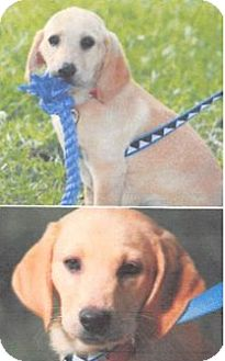 Labrador Retriever Mix Puppy for adoption in Deer Park, New York - Dot Dovette