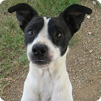 Fox Terrier (Smooth)/Jack Russell Terrier Mix Dog for adoption in Pilot Point, Texas - RASCAL