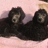 Adopt A Pet :: Male SILVER LABRADOODLES - WOODSFIELD, OH