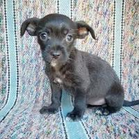 Adopt A Pet :: Sia - Fredericksburg, TX
