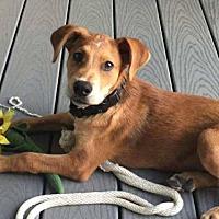 Adopt A Pet :: Cinnamon - Houston, TX