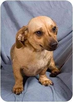 Dachshund Mix Dog for adoption in Anna, Illinois - FAWN