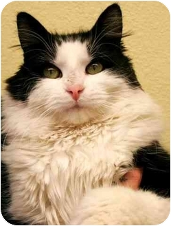 Domestic Longhair Cat for adoption in Phoenix, Oregon - Howard