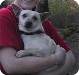 Chihuahua/Dachshund Mix Dog for adoption in Seattle, Washington - Rocket - foster needed!