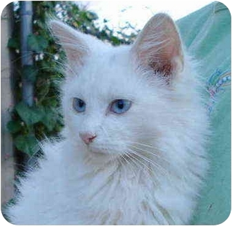 Turkish Angora Cat for adoption in Pisgah, Alabama - Zeus