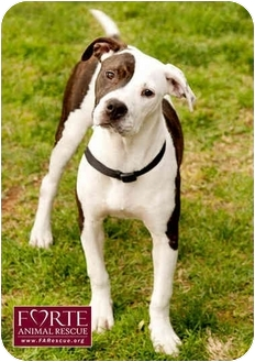 American Staffordshire Terrier/Pointer Mix Dog for adoption in Marina del Rey, California - Elsie