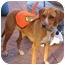 Photo 3 - Beagle/Miniature Pinscher Mix Dog for adoption in Sperryville, Virginia - Annabelle