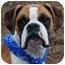 Photo 1 - Boxer Dog for adoption in White Plains, New York - Mr. McGoo