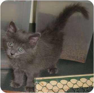 Domestic Mediumhair Kitten for adoption in DeKalb, Illinois - Bristol