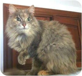 Maine Coon Cat for adoption in Baltimore, Maryland - Coral Caribbean Princess