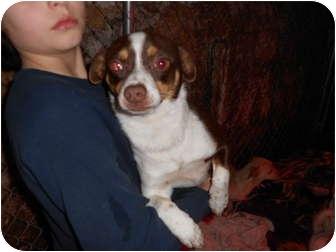 Chihuahua Mix Dog for adoption in Tumwater, Washington - Ziggy