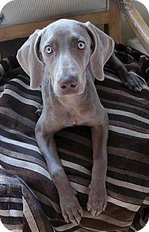 Weimaraner Puppy for adoption in Long Beach, California - MARGIE