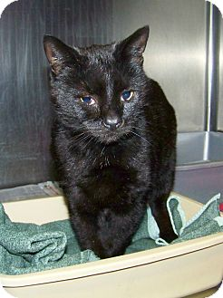 Domestic Shorthair Cat for adoption in Dover, Ohio - Oscar