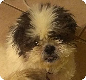 Shih Tzu Mix Dog for adoption in Denver, Colorado - Kata