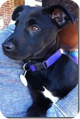 Labrador Retriever Mix Puppy for adoption in East Hartford, Connecticut - Kohle ADOPTION PENDING