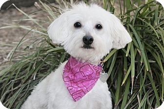 Maltese Dog for adoption in North Palm Beach, Florida - Cindy