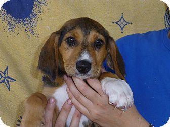 Labrador Retriever/Hound (Unknown Type) Mix Puppy for adoption in Oviedo, Florida - Cammy