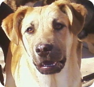 Shepherd (Unknown Type)/Shar Pei Mix Puppy for adoption in Toledo, Ohio - Kent