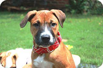 Boxer/Terrier (Unknown Type, Medium) Mix Puppy for adoption in Homewood, Alabama - Quinn