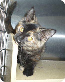 Domestic Mediumhair Kitten for adoption in Pueblo West, Colorado - Tamara