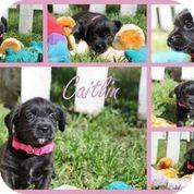 Shih Tzu/Labrador Retriever Mix Puppy for adoption in Austin, Texas - Caitlin