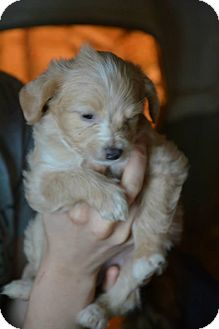 Dachshund/Poodle (Miniature) Mix Puppy for adoption in Minneapolis, Minnesota - Francheska