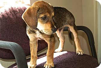 Hound (Unknown Type) Mix Puppy for adoption in Englewood, Florida - Wally