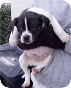 Boston Terrier Mix Dog for adoption in Tullahoma, Tennessee - Sassy