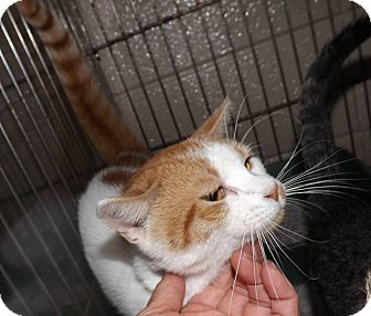 Domestic Shorthair Cat for adoption in Henderson, North Carolina - Victor