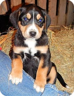 Greater Swiss Mountain Dog/Hound (Unknown Type) Mix Puppy for adoption in Westport, Connecticut - *Chanse - PENDING