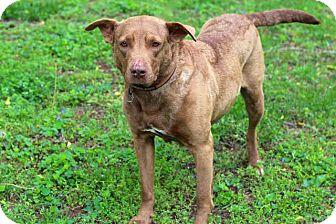 Labrador Retriever Mix Dog for adoption in Salem, New Hampshire - SUNNY