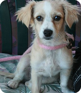 Spaniel (Unknown Type) Mix Puppy for adoption in Canoga Park, California - Honey