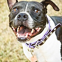 Pit Bull Terrier Mix Dog for adoption in Grand Prairie, Texas - Tansy