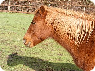 Pony - Welsh Mix for adoption in Halsey, Oregon - Rosie