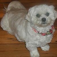 Lhasa Apso Dog for adoption in Homer Glen, Illinois - Malibu