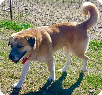 Anatolian Shepherd/Shepherd (Unknown Type) Mix Dog for adoption in Colorado Springs, Colorado - GUNNAR