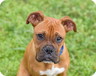 Boxer Puppy for adoption in Richmond, Virginia - Ace
