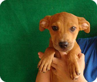 Australian Shepherd/Labrador Retriever Mix Puppy for adoption in Oviedo, Florida - Katie