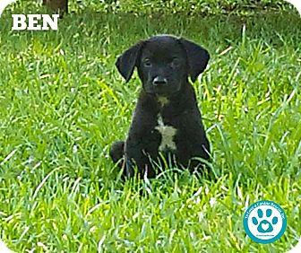 Labrador Retriever Mix Puppy for adoption in Kimberton, Pennsylvania - Ben