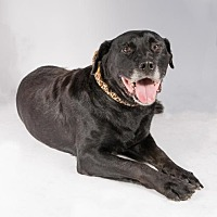Rottweiler/Labrador Retriever Mix Dog for adoption in St. Louis Park, Minnesota - Razzle