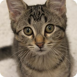 Domestic Shorthair Kitten for adoption in Naperville, Illinois - Poblano