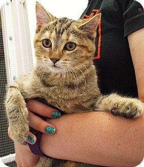 Domestic Shorthair Cat for adoption in Kalamazoo, Michigan - Charly