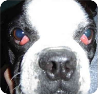 Boston Terrier Dog for adoption in Lewisville, Texas - Neville